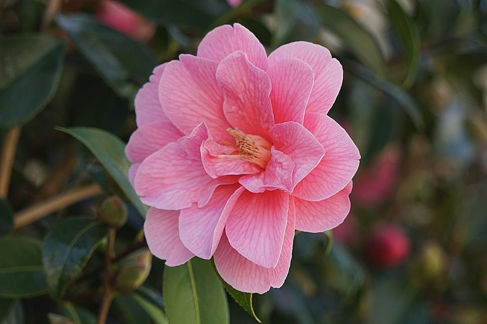 flower flora japan quince nature plant petal - Quince Flower