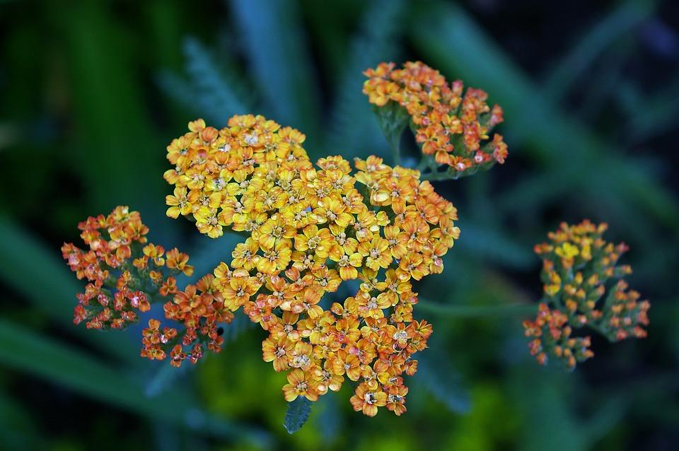Yarrow, Plant, Blossom, Bloom, Nature, Flower, Flora
