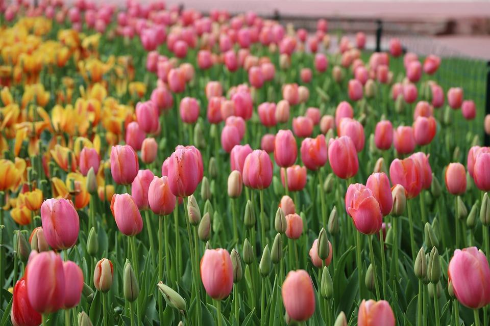 Tulip, Flower, Nature, Garden, Plant, Floral, Color