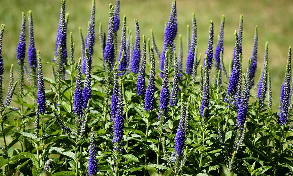 Blazing Star, Flower, Floral, Nature, Plant, Dense