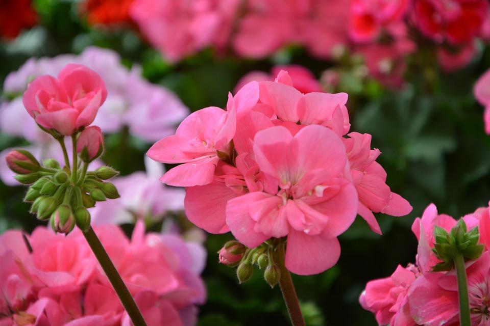 Flower, Flower Buds, Color Pink, Nature, Garden, Plant