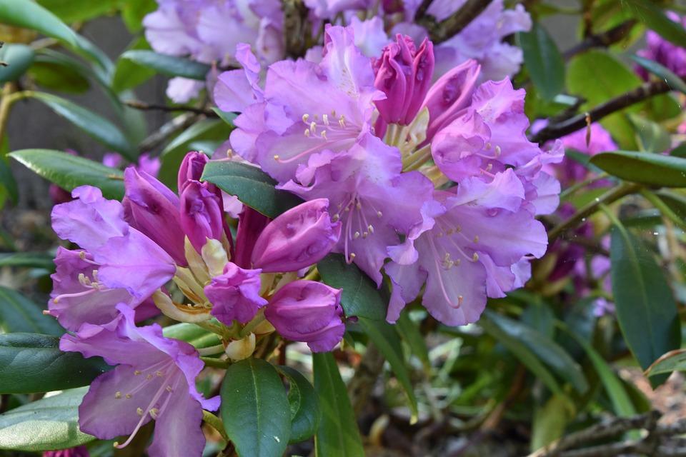 Flower, Nature, Plant, Garden, Leaf, Rhododendron