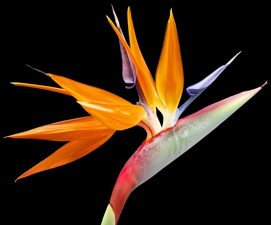 Flower, Paradise, Plant, Nature