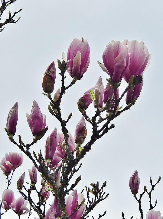 Flower, Nature, Plant, Magnolia, Pink, White Pink