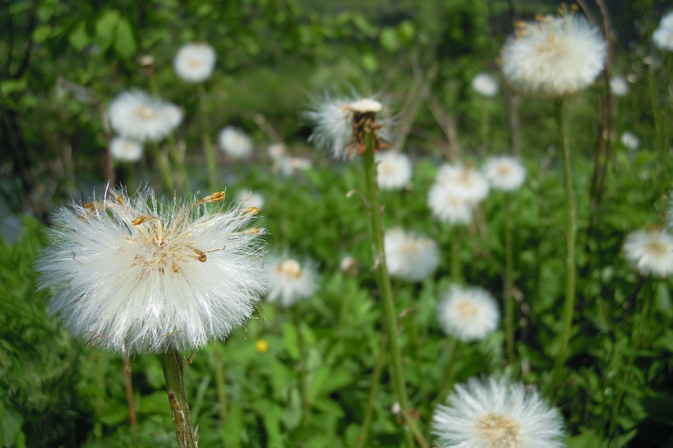Dandelion, Flower, Flowers, Nature, Plant, Spring