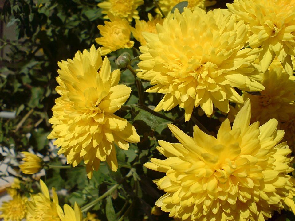 Chrysanthemum, Yellow, Flower, Nature, Plant, Garden