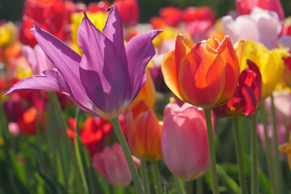 Flower, Nature, Plant, Garden, Leaf, Tulips