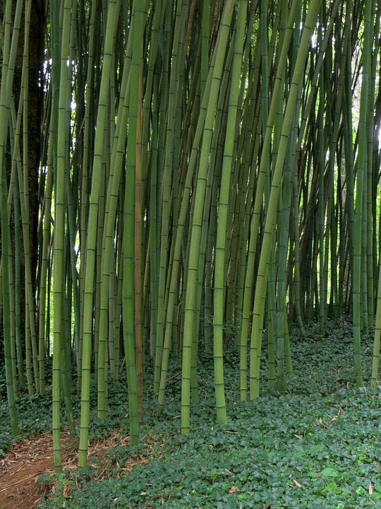 Bamboo, Garden, Plant, Natural, Nature, Forest