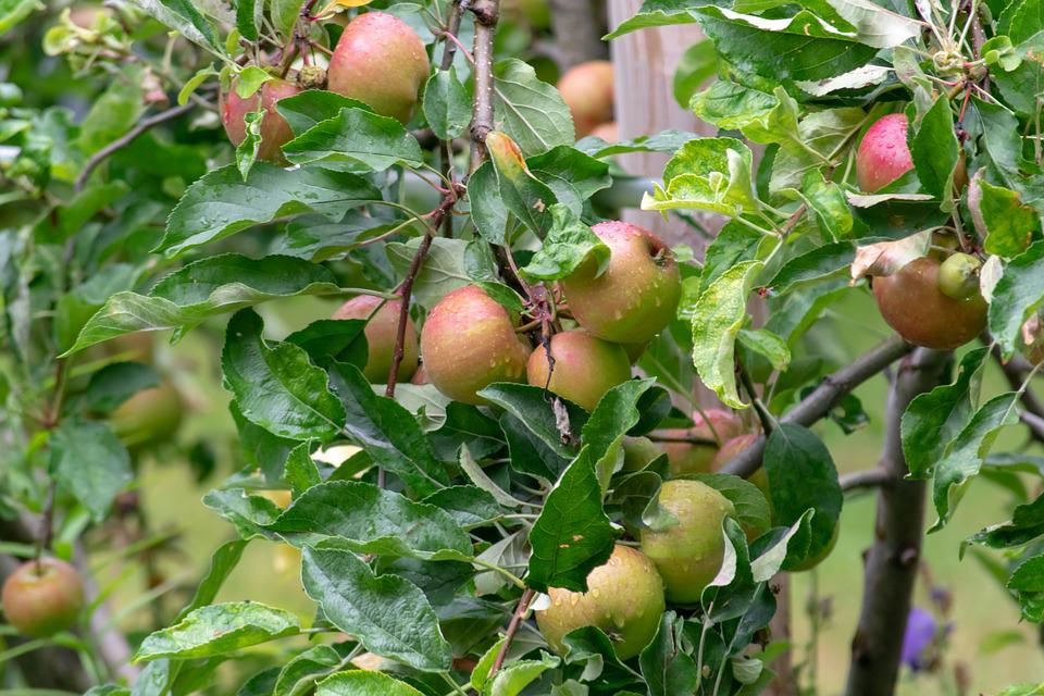 Plant, Tree, Apple, Nature, Green, Branch, Fruit