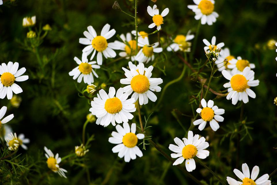 Nature, Flower, Summer, Plant, Haymaking, Daisy