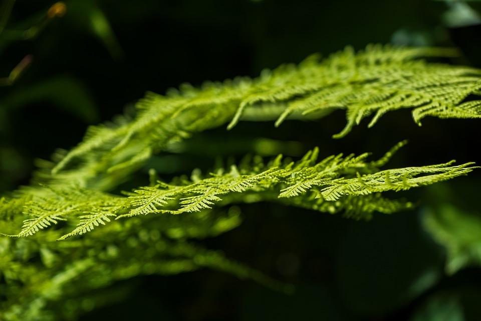 Fern, Nature, Plant, Green, Leaf