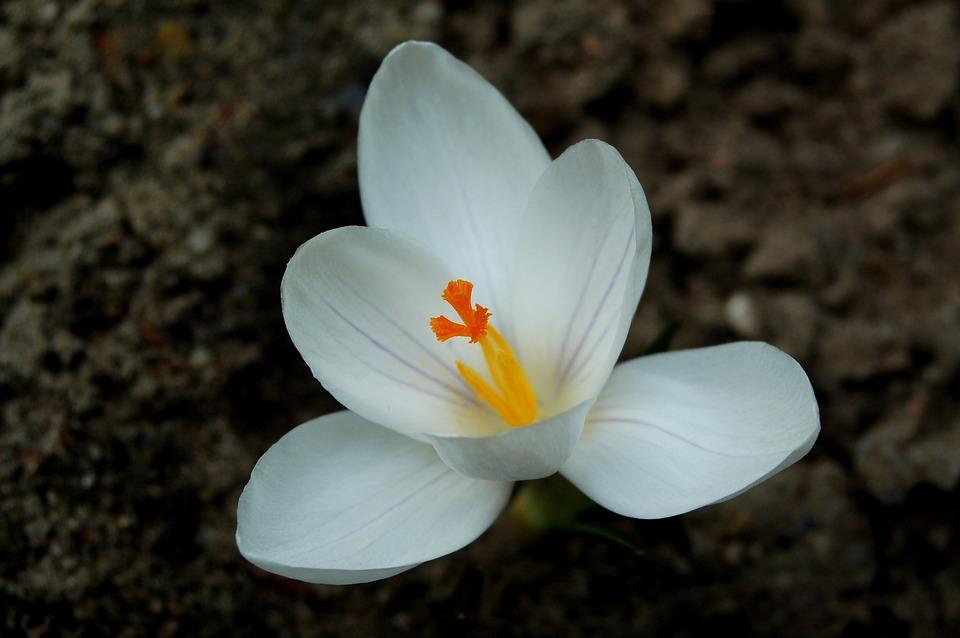 Krokus, Nature, Flower, Plant, Macro, Blooms