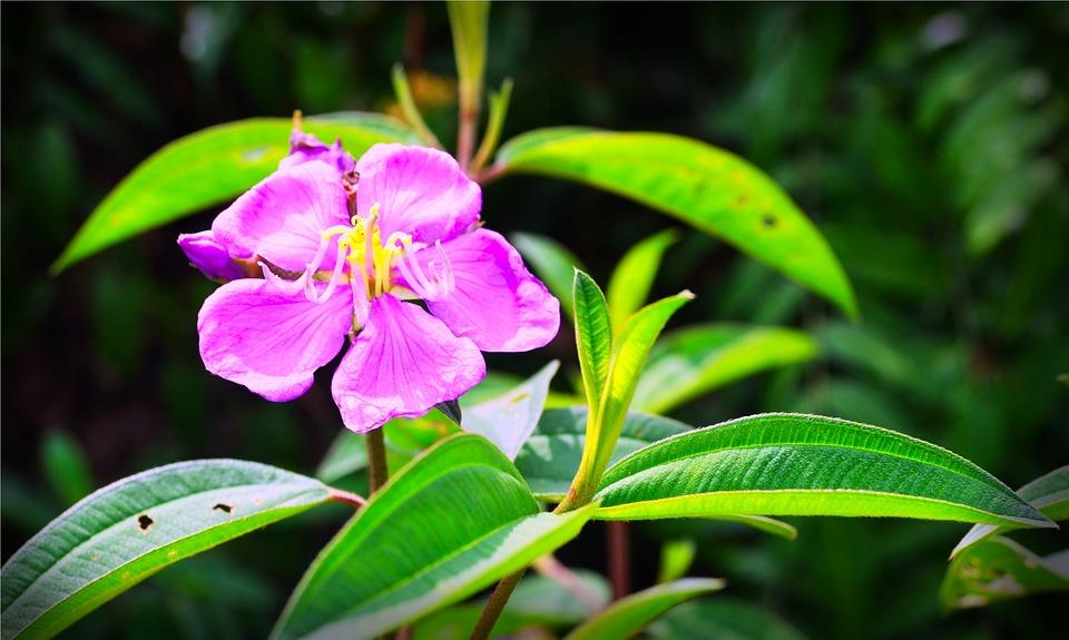 Melastoma, Plant, Flower, Nature, Flora