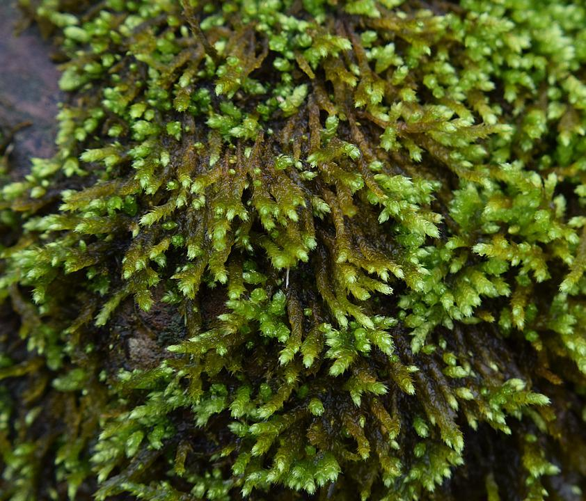 Rain-wet Moss On Rock, Moss, Plant, Nature, Rain