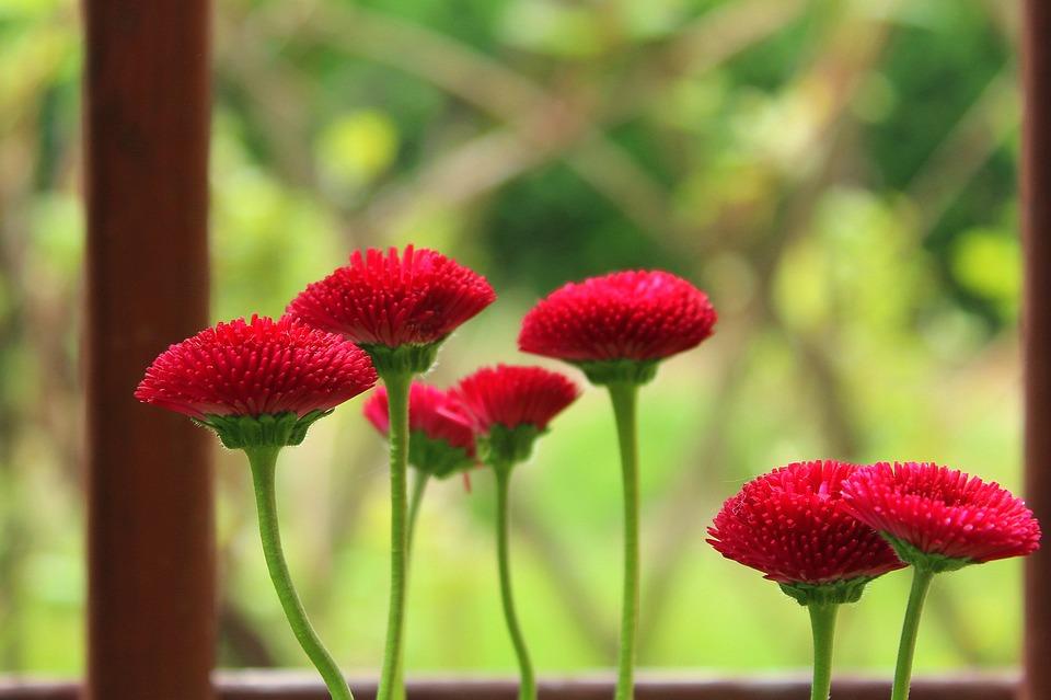 Daisies, Red, Spring, Nature, Plant, Flower, Garden