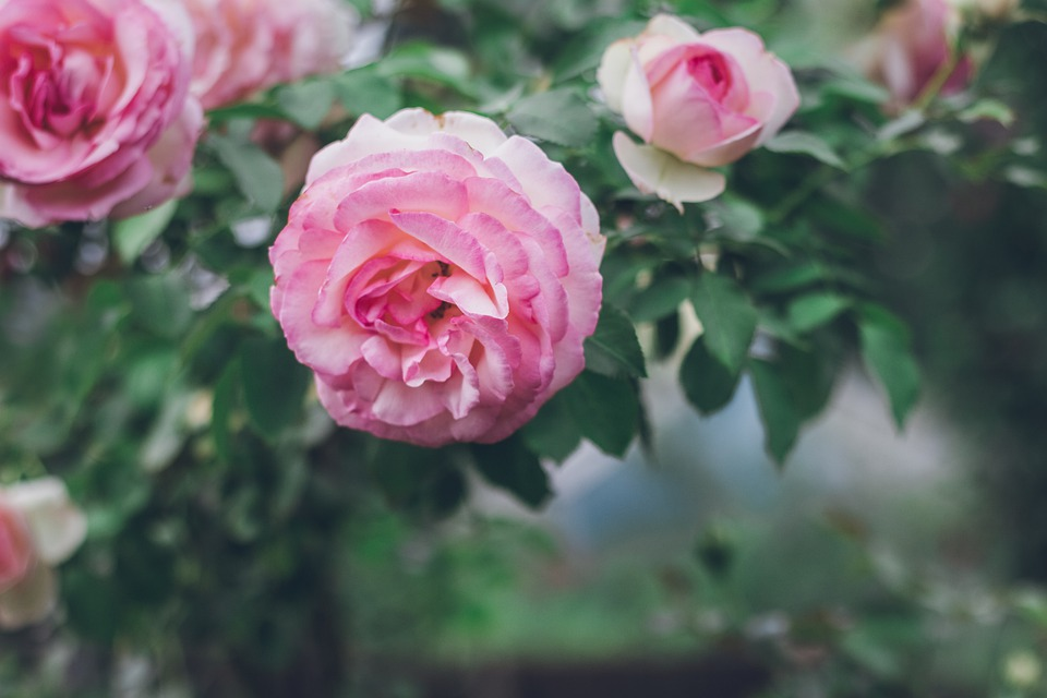 Roses, Flowers, Pink, Plant, Nature, Summer, Garden