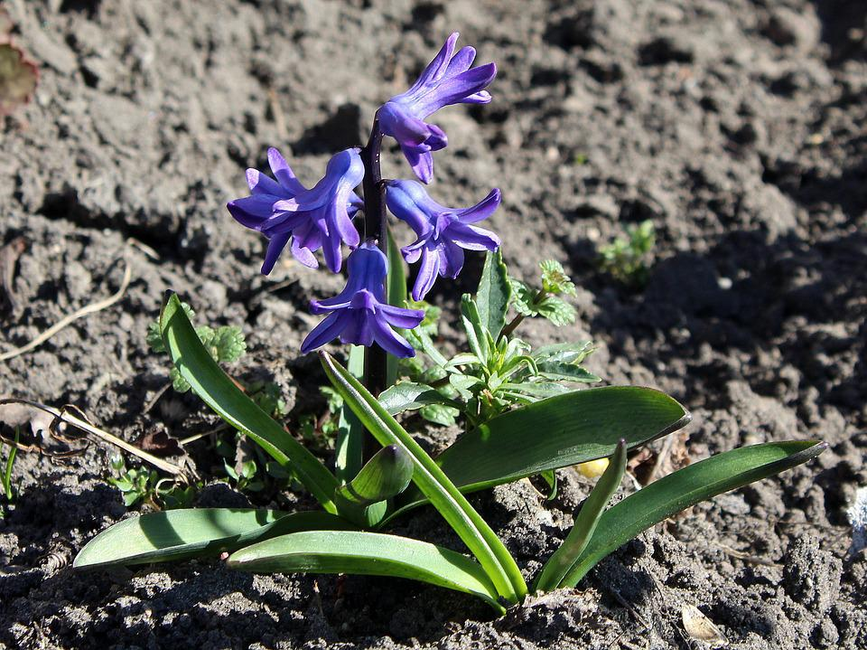 Hyacinth, Spring, Spring Flowers, Nature, Plant