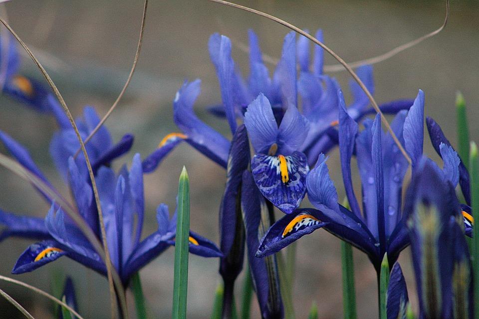 Nature, Plant, Flower, Iris, Spring, Blue
