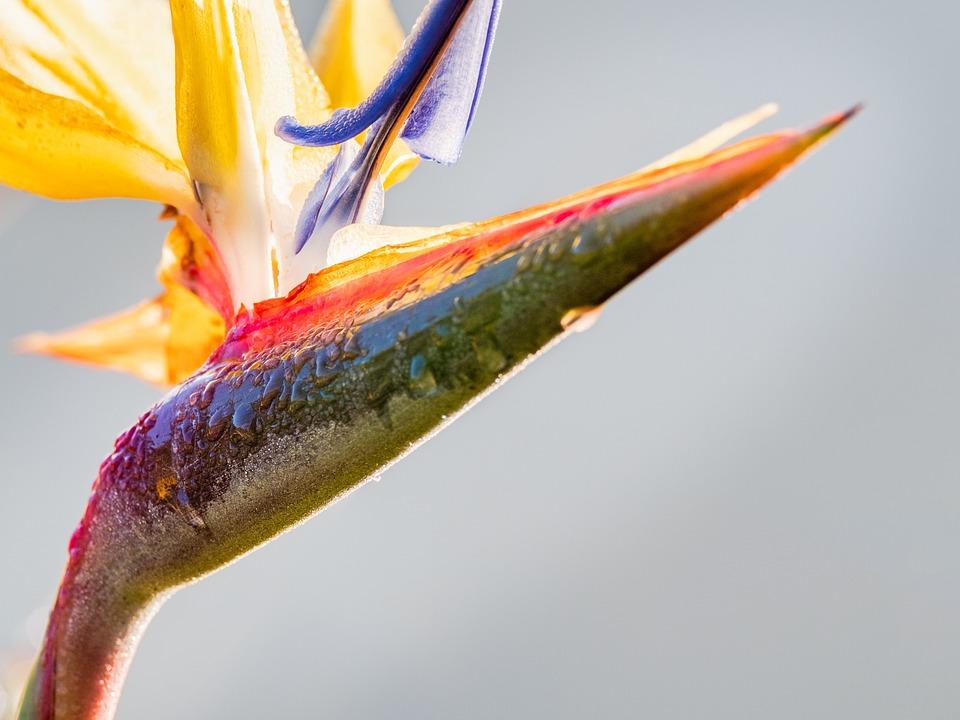 Strelitzia, Bird Of Paradise, Flower, Nature, Plant