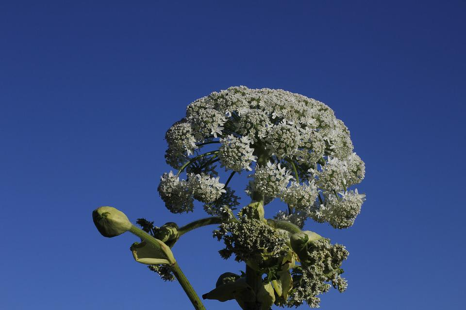 Hogweed, White Flower, Summer, Nature, Flowers, Plant