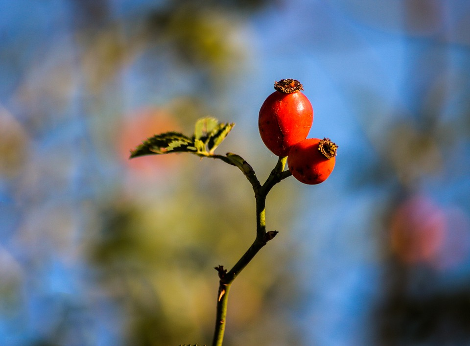 Rose Hip, Plant, Nature, Tee, Red, Autumn Fruits