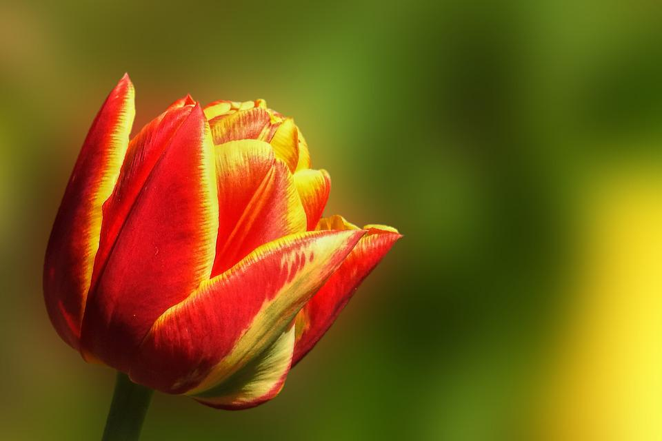 Tulip, Nature, Flower, Plant, Bright, Red Yellow