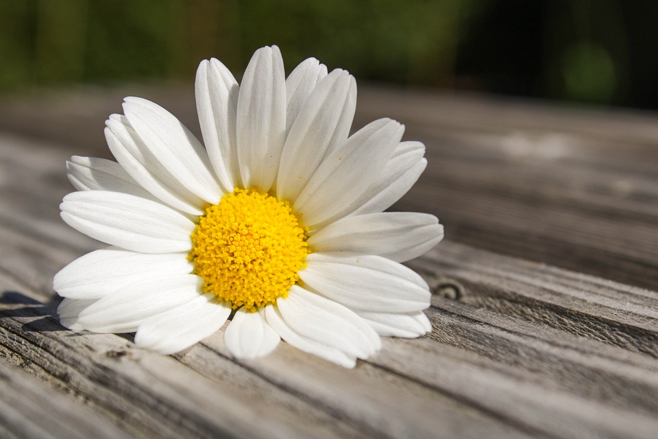 Daisy, Flower, Feeling, Blossom, Nature, White, Plant