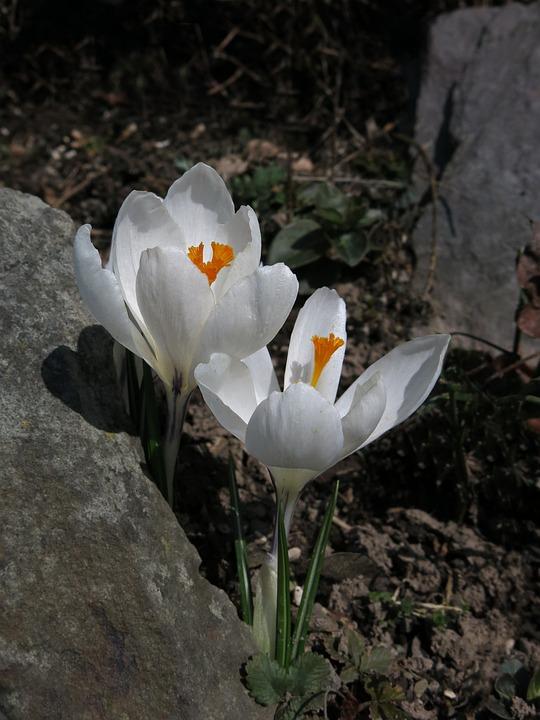 Crocus, White, Flower, Nature, Plant, White Blossom