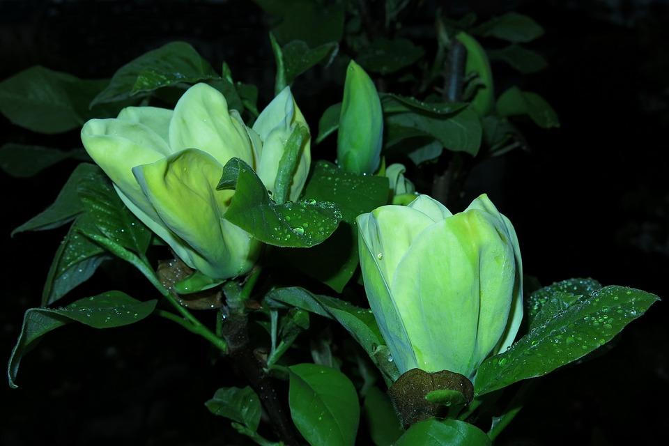 Free photo nature plant yellow flower magnolia leaf flower max pixel magnolia yellow flower flower plant leaf nature mightylinksfo