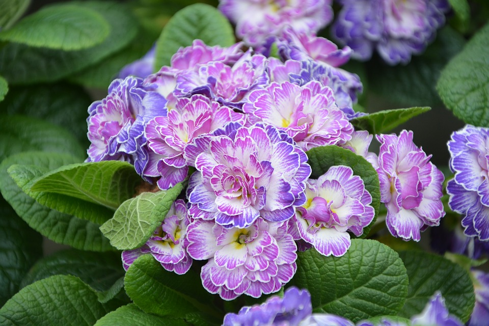 Flower, Purple Flowers, Plants, Primroses, Nature