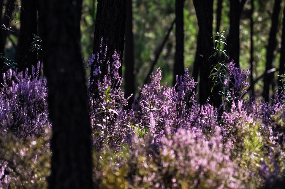 Forest, Heather, Purple, Atmosphere, Nature, Plants