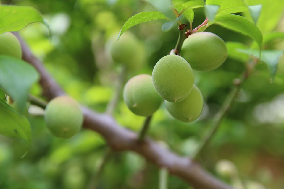 Plum, Peach, Spring, Apricot, Fruit, Nature, Plants