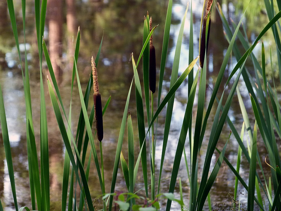 Common Reed, Nature, Swamp, Plants, Wetland, Water
