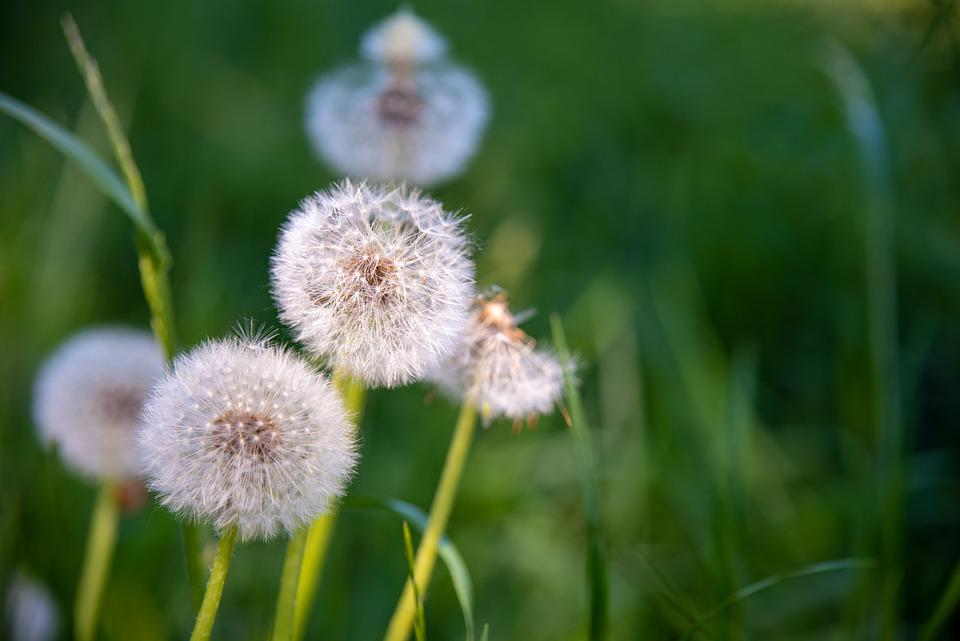 Dandelions, Spring, Nature, Pointed Flower