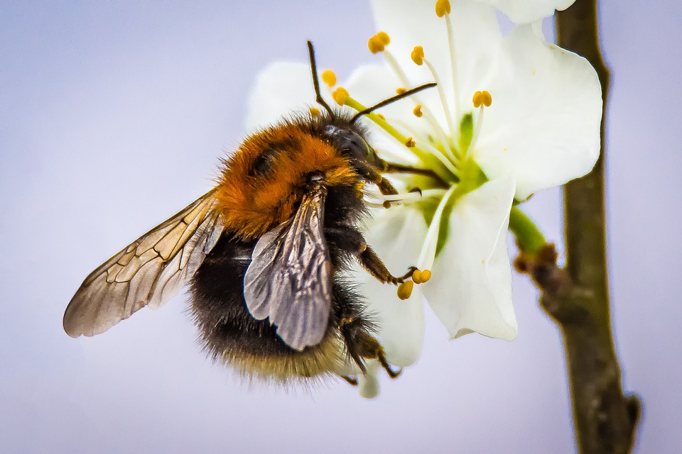 Blossom, Bloom, Hummel, Pollination, Insect, Nature