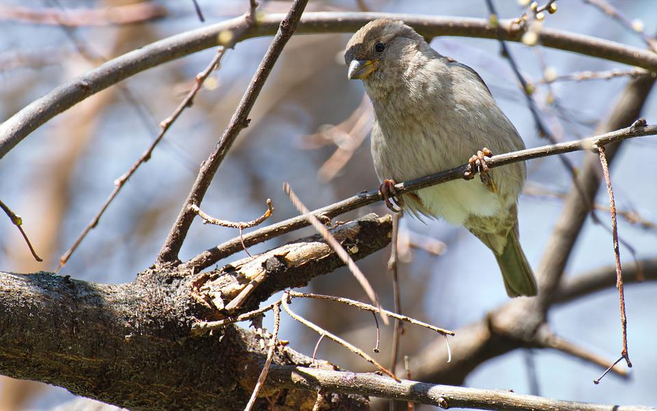 Bird, Sparrow, Pom, Tree, Twig, Attached, Nature