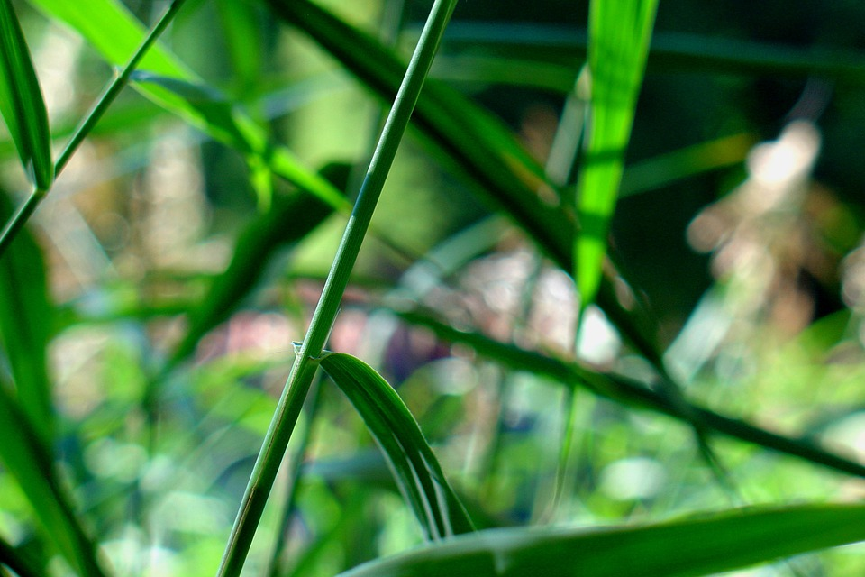 Reed, Nature, Pond Plant