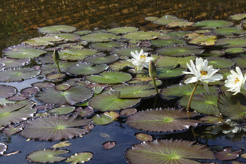 Landscape, Lake, Nature, Water Lily, Lilies, Pond