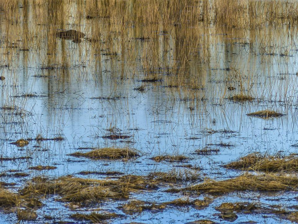 Water Reed, Pond, Nature, Plant, Landscape, Reflection