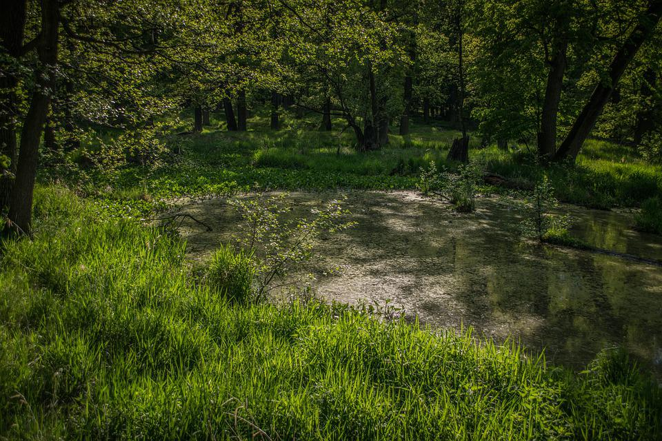Pond, Green, Water, Nature, Plant, žabinec