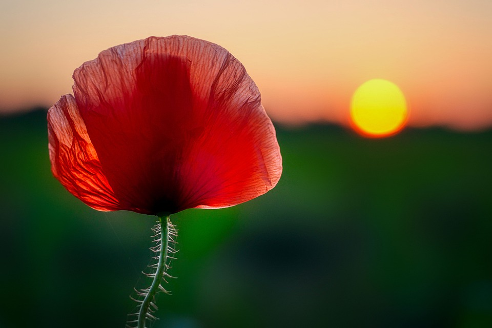 Poppy, Poppy Flower, Klatschmohn, Nature