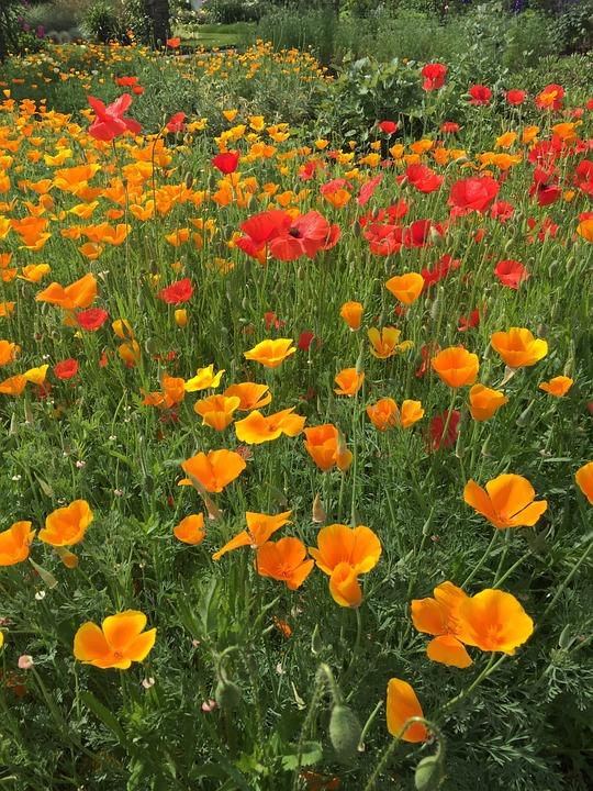 Poppy, Meadow, Garden, Kew Gardens, Nature, Field