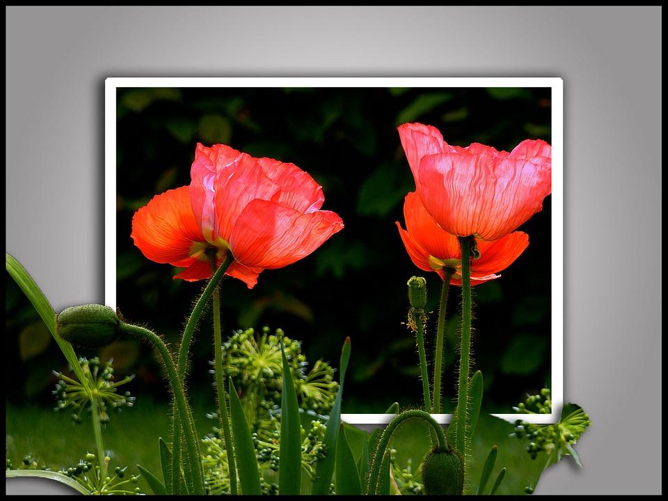 Poppy, Flowers, Spring, Garden, Yellow, Nature, Plant