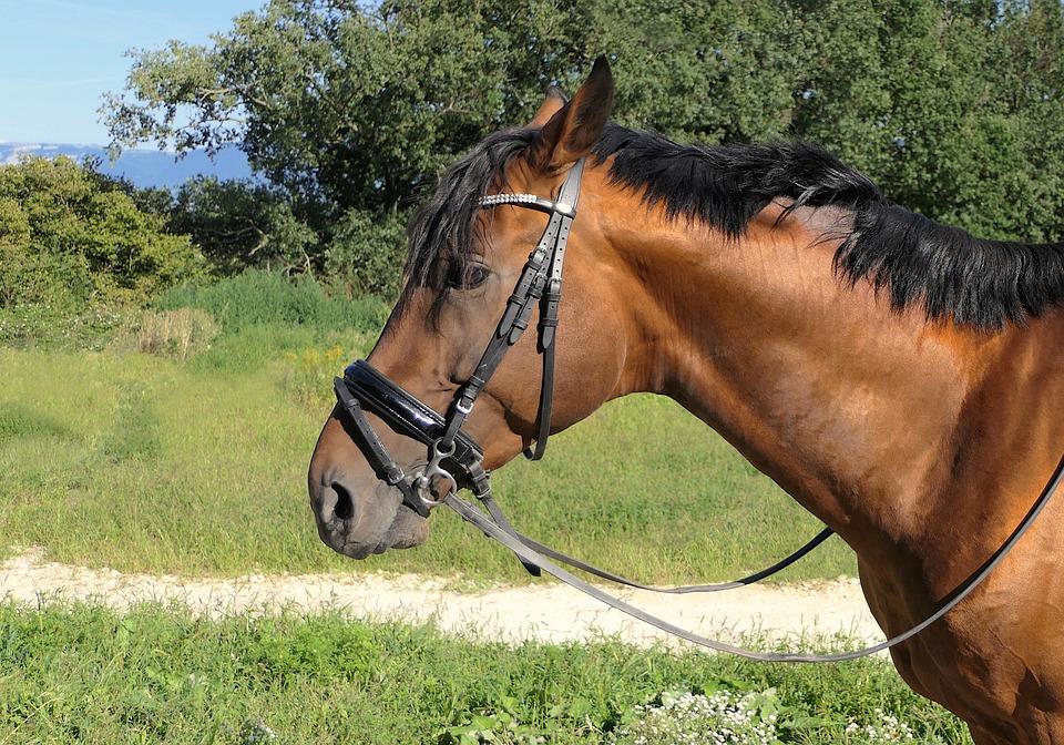 Horse, Portrait, Bai, Brown, Animal, Equine, Nature