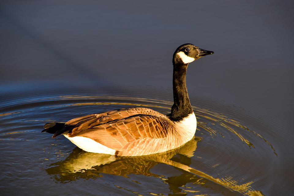 Goose, Goose In Pond, Pond, Nature, Poultry, Bird