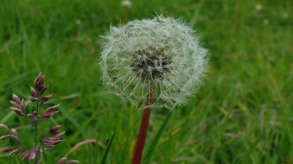 Dandelion, Plant, Grass, Prairie, Foreground, Nature