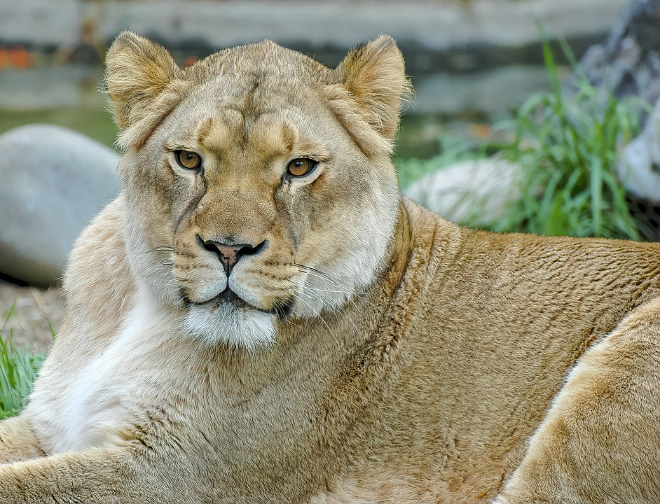 Lioness, Lion, Female, Animal, Nature, Predator, Africa