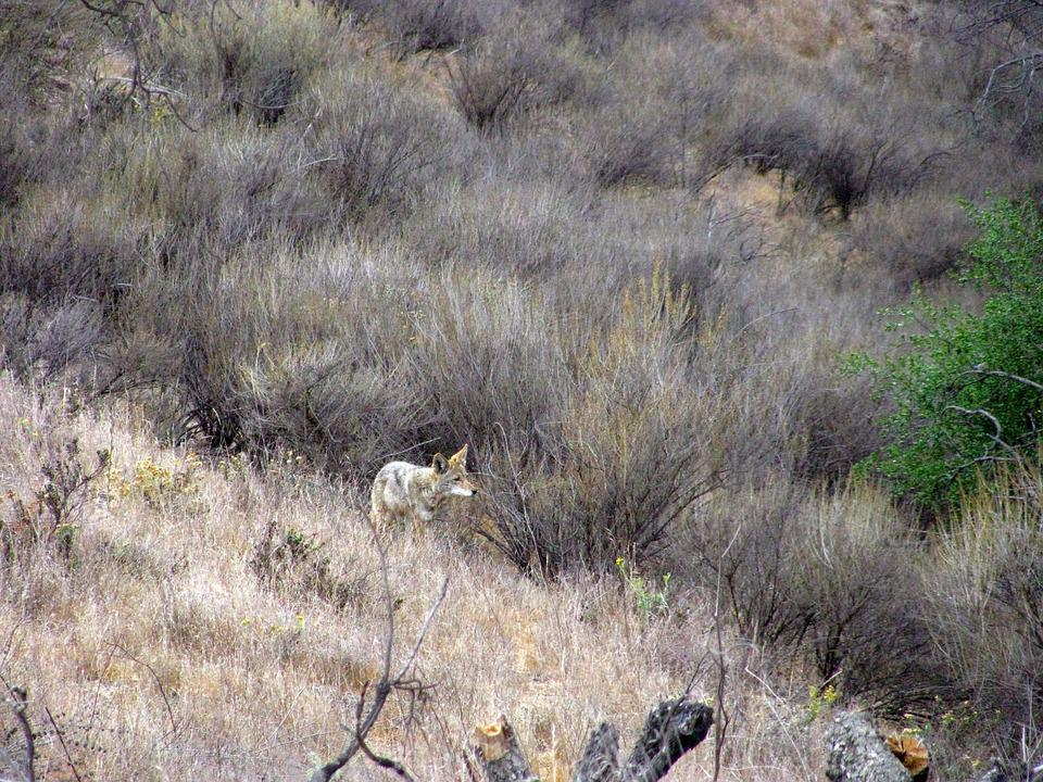 Coyote, Wild, Nature, Canine, Predator, Camouflage