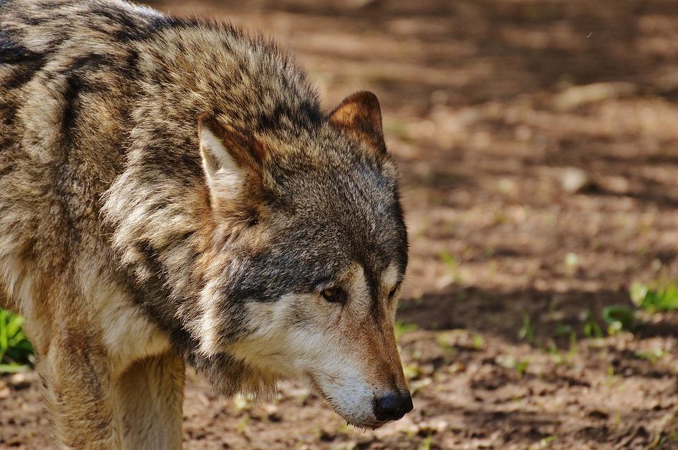 Wolf, Wild Animal, Predator, Nature, Animal, Deer Park