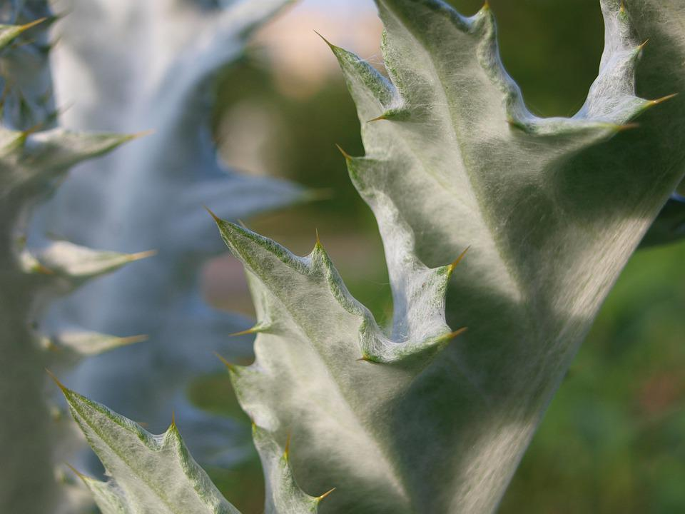 Thistle, Spur, Nature, Flower, Plant, Prickly, Close Up
